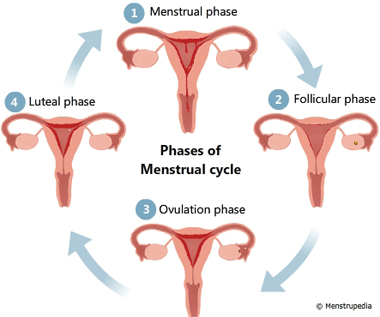 pysiology-menstrual-phases